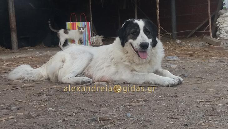 Χάθηκε αυτός ο σκύλος χτες στον Σχοινά – βοηθήστε! (φώτο)