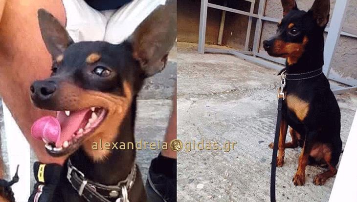Χάθηκε σκύλος στην Αλεξάνδρεια – βοηθήστε! (φώτο)