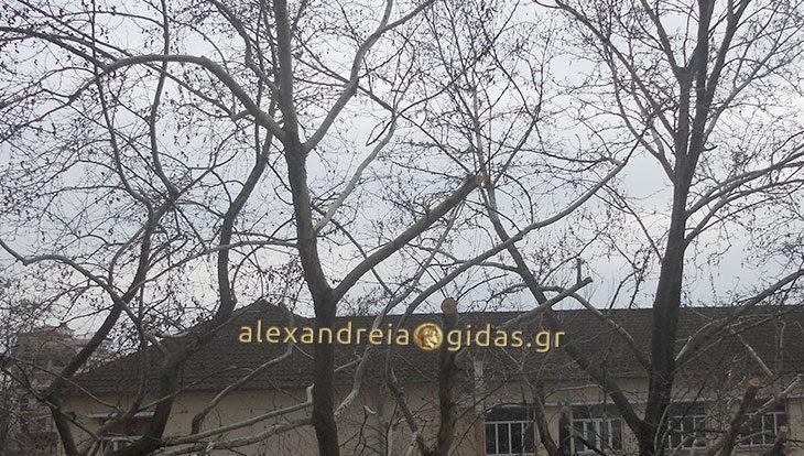 Καταγγελία πολίτη για τα δέντρα που κόβονται στα 1ο-5ο Δημοτικά Σχολεία της Αλεξάνδρειας (φώτο)