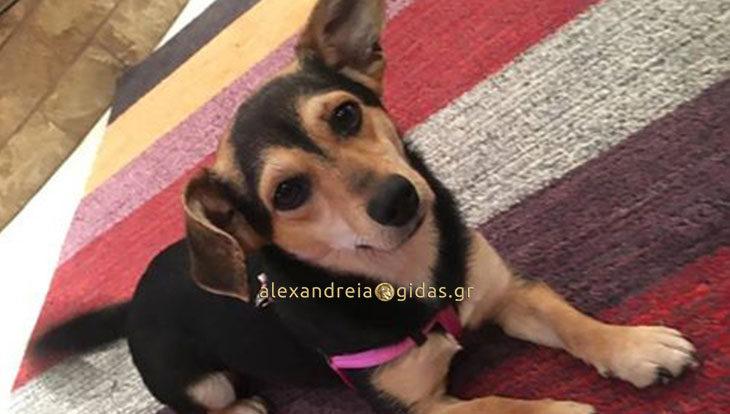 Βρέθηκε σκυλάκι στην Αλεξάνδρεια – αν το χάσατε, επικοινωνήστε