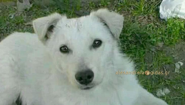 Χάθηκε σκυλάκι στην Αλεξάνδρεια – βοηθήστε! (φώτο)