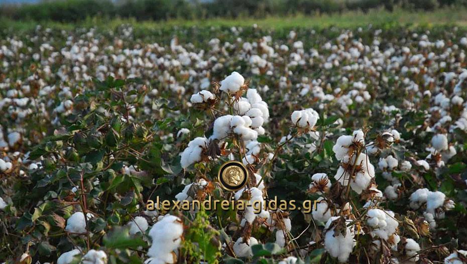 Τι να προσέξουν βαμβακοπαραγωγοί και εκκοκκιστές ενόψει της αναμονής της φετινής περιόδου συγκομιδής