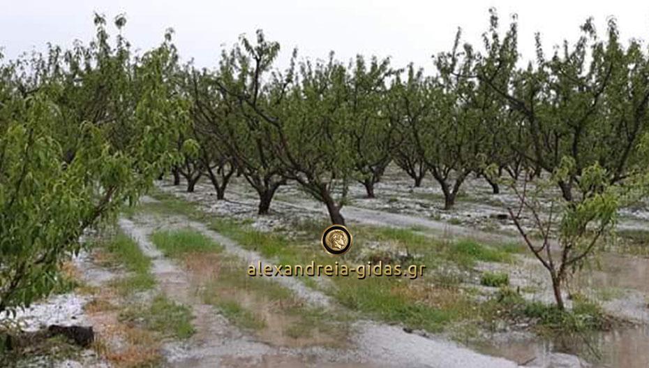 Νέο «χτύπημα» στους αγρότες της Ημαθίας – δυνατό χαλάζι κατέστρεψε χωράφια στη Μελίκη (εικόνες)