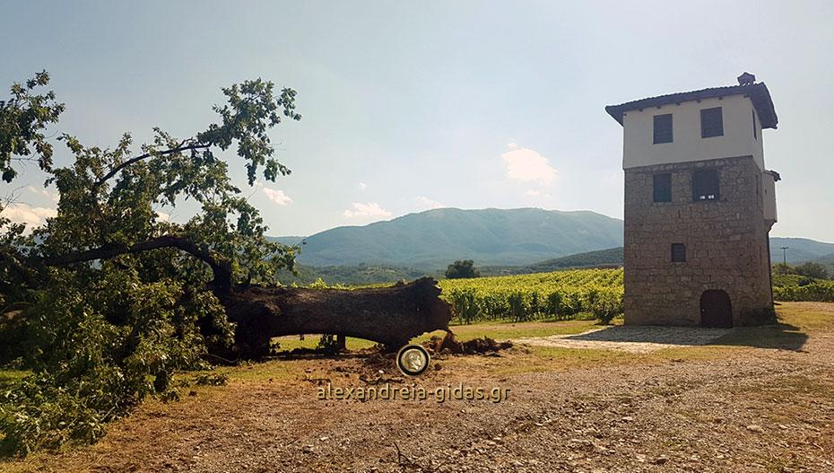 Έπεσε από την κακοκαιρία το ιστορικό δέντρο στο κτήμα Κυρ-Γιάννη στην Ημαθία