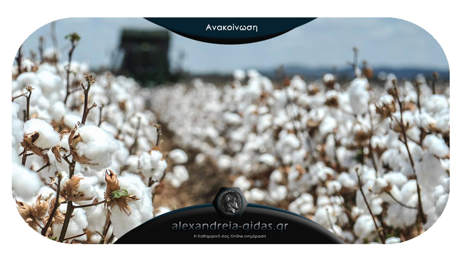 Αγρότες της Αλεξάνδρειας για το βαμβάκι: «Οδηγούμαστε στην οικονομική εξαθλίωση»