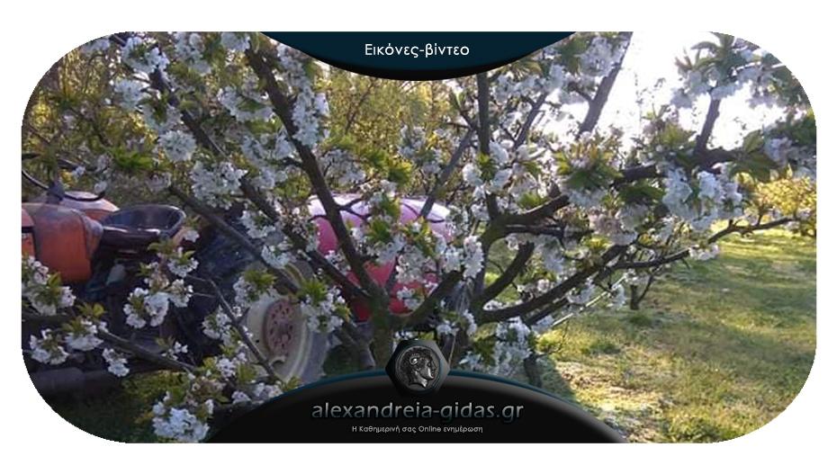Ο παγετός του Απριλίου πάγωσε τις κερασιές σε Ημαθία και Πέλλα