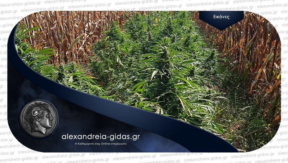 Καλλιεργούσε δενδρύλλια κάνναβης σε χωράφι ανάμεσα σε καλαμπόκια στην Πέλλα