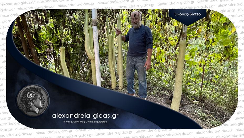 Καλλιεργεί κολοκύθια 1,5 μέτρο στην Καψόχωρα Αλεξάνδρειας!